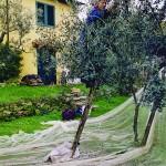 Casa Vacanze La Baghera - La Baghera - Raccolta Olive